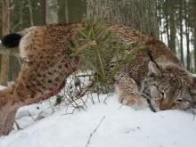 lynx in estonia